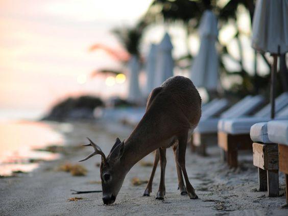 little palm deer.jpg