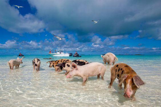 Swimming pigs.jpg