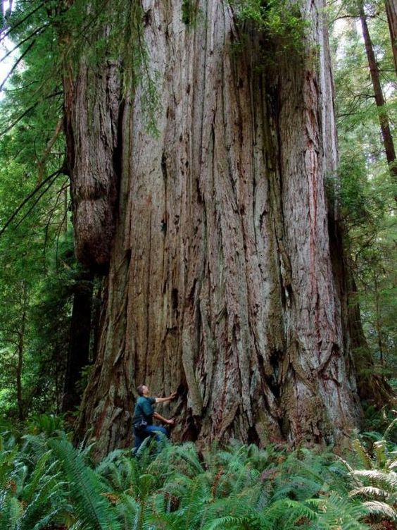 Jedediah Smith huge tree.jpg