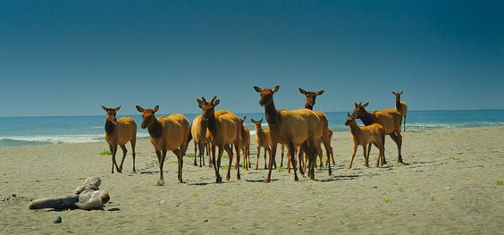 Redwood National Park elk on beach.jpg